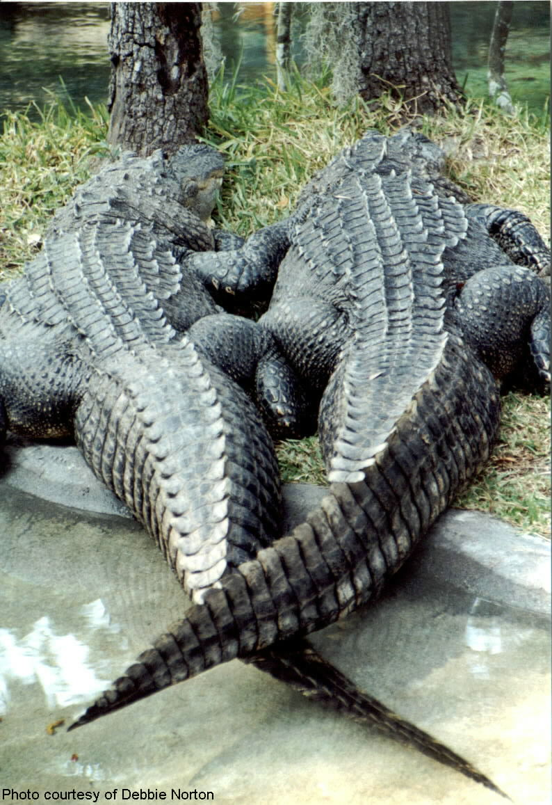 Best Buds Alligators