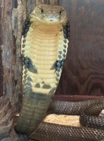 King Cobra now display! Located in the New Swamp Area.
